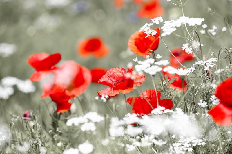 Wild Red Poppy.