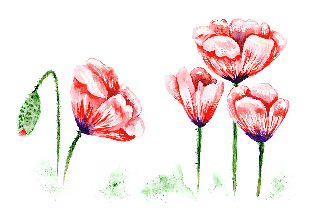 Watercolor poppy illustration